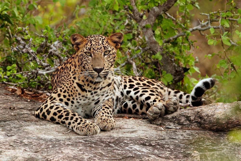 Sri_Lanka_gepard