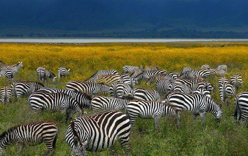 Zanzibar_zebras_2