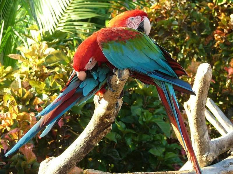 Parrot_Ara