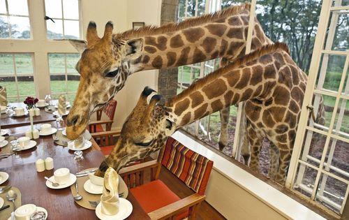 Kenya_giraffes